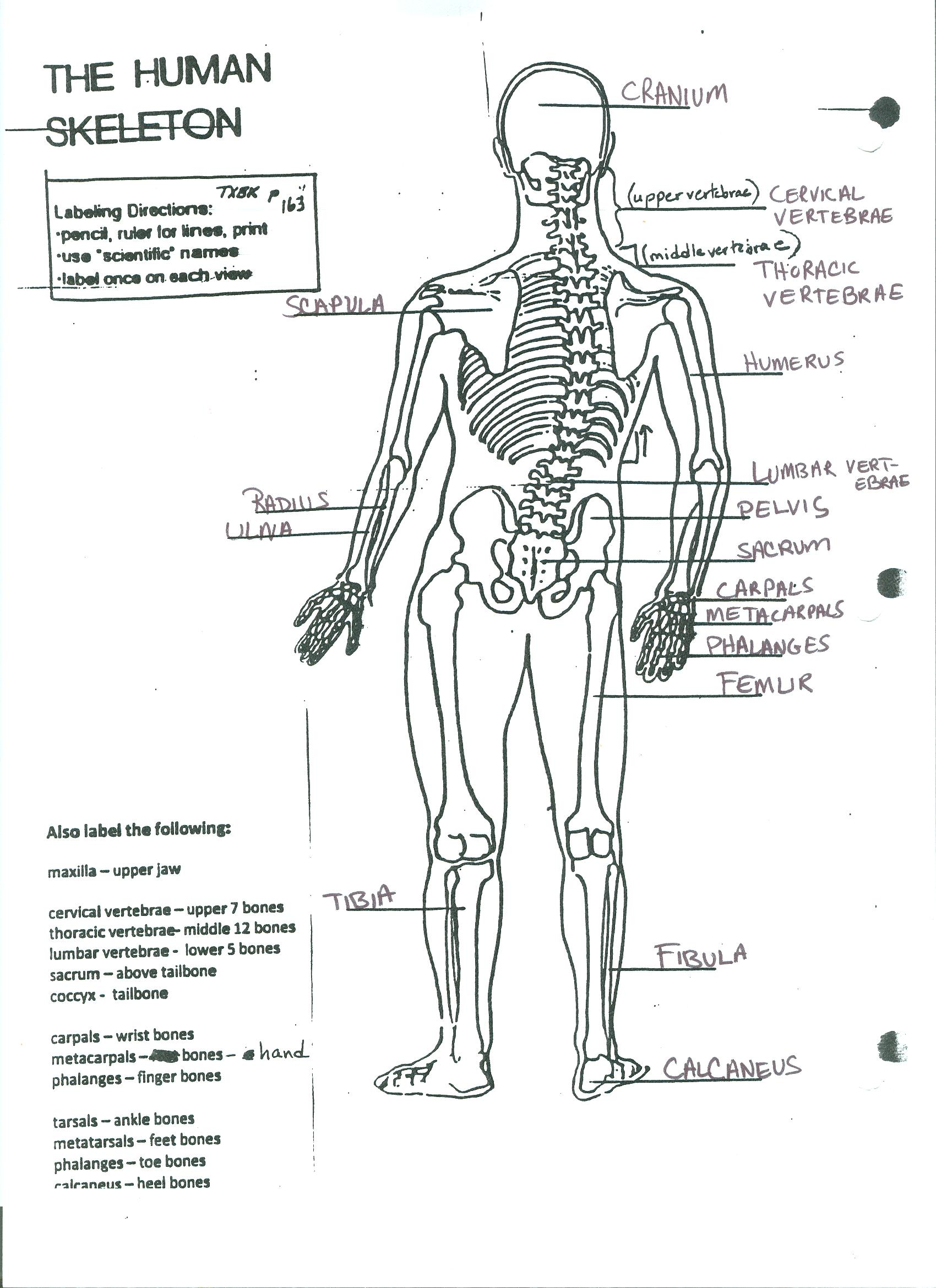 the human skeleton ms connell click here to