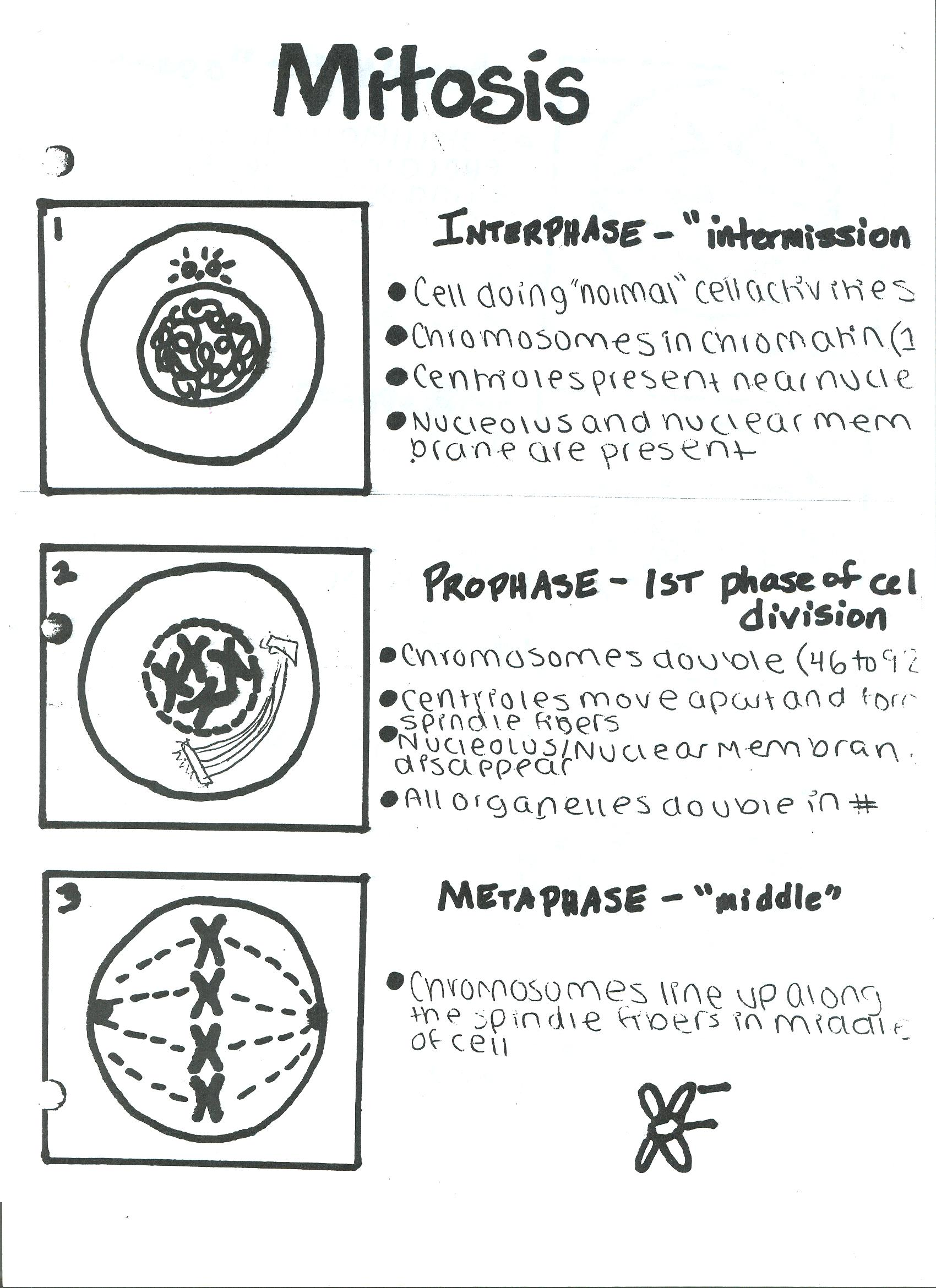 Meiosis vs Mitosis Diagram